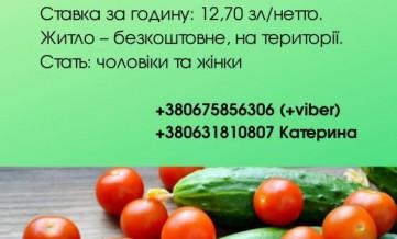 Працівники на збір помідорів і огірків
