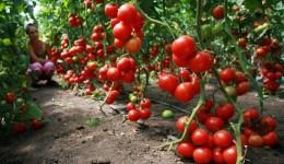 Сбор и упаковка помидоров черри в теплице/от 3450