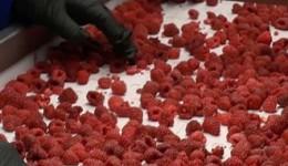 Сортировка и упаковка ягод