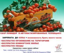 Упаковщики помидорок в теплицах/ЗП до 4350 zl